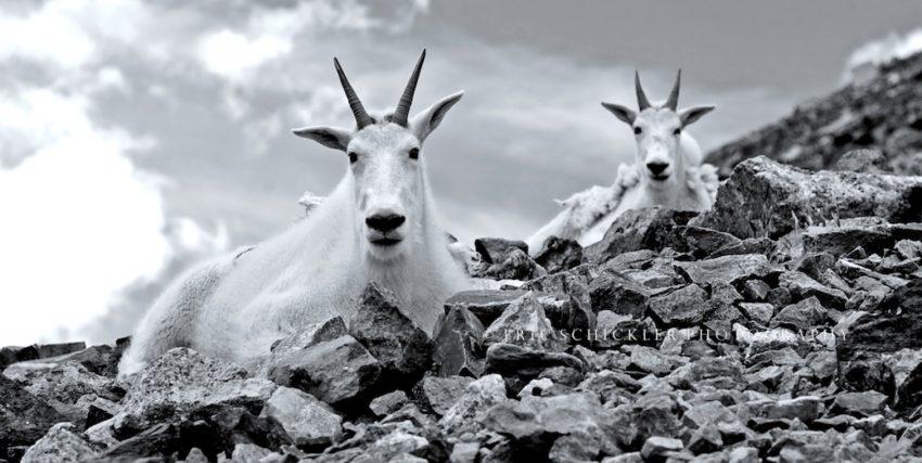 Mountain Goats copy